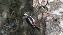 Great Spotted Woodpecker Feeding Chick At Nesting Hole