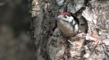 Great Spotted Woodpecker  Chick At Nesting Hole