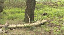 Pine Marten Looking For Food On Birch