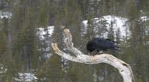 Raven On Branch In The Snow Drops Pellet
