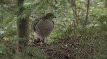 Sparrow Hawk (Female) Arrives On Nest For Inspection