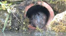 Watervole Sitting And Looking In A Tube