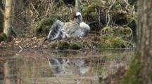 Crane On Nest In Swamp Nursing Plumage