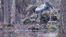 Crane On Nest In Swamp