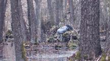 European Crane Standing On Nest ïN Swamp And Sitting Down On Two Eggs