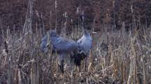 Two European Cranes Arriving  On Nest In Swamp With Mating Call