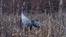 Two European Cranes Standing  On Nest In Swamp Arranging Feathers