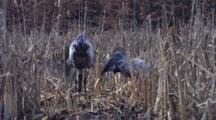 Two European Cranes Standing  On Nest In Swamp , One Sitting Down On Eggs