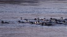 Flock Of Eider Ducks On The River