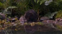 Water Vole, Grooming Itself