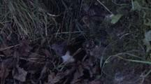Weasel Hiding Itself