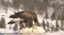 Golden Eagle Preying On Arctic Hare