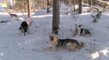 Huskies Waiting For Sledge