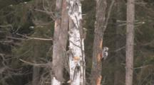 White Rugged Woodpecker
