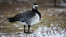 The Small Barnacle Goose, Branta Leucopsis, Is An Rare Winter Visitor To Ontario, Canada.