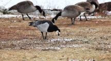 The Small Barnacle Goose, Branta Leucopsis, Is An Rare Winter Visitor To Ontario, Canada. Here It Is Seen With A Group Of Canada Geese, Branta Canadensis.
