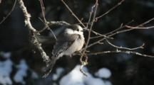 A Close View Of The Gray Jay, Perisoreus Canadensis, From The Boreal Forest Of Algonquin In Ontario, Canada