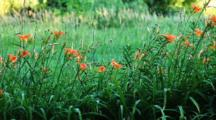 Escaped Day Lilies By The Roadside