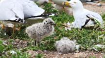 Ring-Billed Gull With Chicks