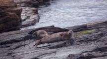 Gray Seals In North Ronaldsay, Orkney