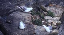 Northern Fulmar Nesting, Orkney