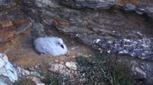 Northern Fulmar Chick, Orkney