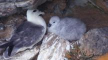 Northern Fulmar With Chick, Orkney