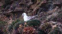 Northern Fulmar On Nest, Orkney