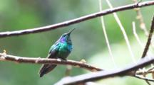 A Green Violetear, Colibri Thalassinus, Perched On A Branch In The Highlands Of Costa Rica