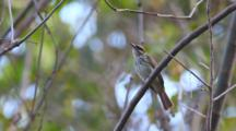 A Streaked Flycatcher, Myiodynastes Maculatus, Perched In A Tree In Costa Rica