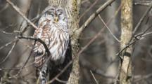 A Barred Owl (Strix Varia), In Ontario, Canada