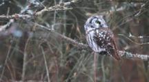 Boreal Owl (Aegolius Funereus), At Amherst Island, Ontario, Canada
