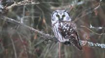 Boreal Owl, Aegolius Funereus, At Amherst Island, Ontario, Canada