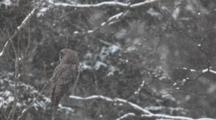 A Great Gray Owl, Strix Nebulosa, In A Snowy Landscape In Algonquin In Ontario