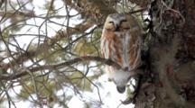 A Northern Saw-Whet Owl (Aegolius Acadicus), Amherst Island, Ontario, Canada