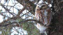 Resting Northern Saw-Whet Owl (Aegolius Acadicus), Amherst Island, Ontario, Canada