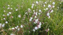 Bladder Campion, Silene Vulgaris