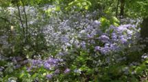 Blue Phlox, Phlox Divaricata