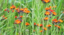 Orange Hawkweed, Pilosella Aurantiaca