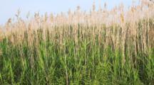 Phragmites, Common Reed, Phragmites Australis