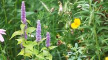 Purple Giant Hyssop, Agastache Scrophulariifolia
