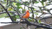 The Beautiful  Flame-Colored Tanager, Piranga Bidentata.