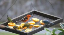 Tropical Birds Feeding On A Bird Table In Panama.