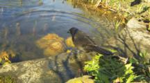 A Closeup Of A Common Grackle, Quiscalus Quiscula, Bathing