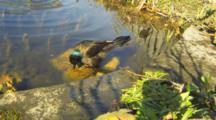 A Closeup View Of A Common Grackle, Quiscalus Quiscula, Bathing