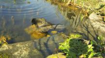 Slow Motion View Of A Common Grackle, Quiscalus Quiscula, Bathing