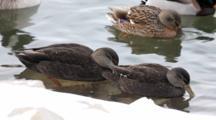 American Black Duck, Anas Rubripes, Pair In Winter