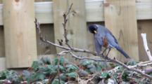 American Robin, Turdus Migratorius, Preens Then Flies Away