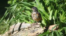 Young American Robin, Turdus Migratorius