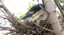 Black-Crowned Night-Heron, Nycticorax Nycticorax, Nesting